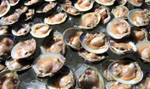 Photo of Jersey clams