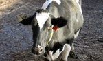 Photo of Dairy Cow