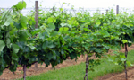 Photo of grapevines