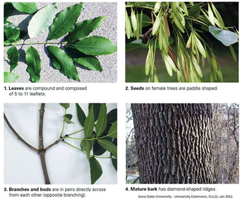 Photo of how to identify an ash tree