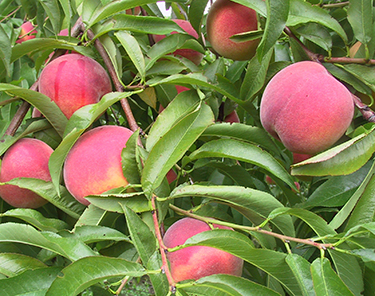 Peaches on tree - Click to enlarge