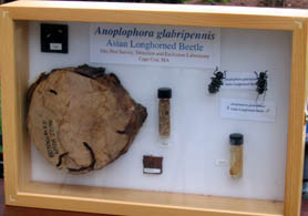Photo of display of Asian longhorned beetle - Click to enlarge