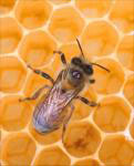 Photo of a honey bee - Click to enlarge