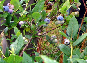 Photo of blueberry bush