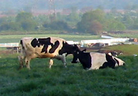 Photo of cows in a field - Click to enlarge