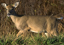 Photo of a deer - Click to enlarge
