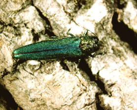 Photo of an Emerald Ash Borer Beetle - Click to enlarge