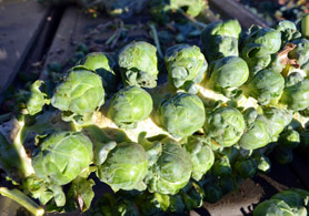 Photo of gleaned Brussels Sprouts - Click to enlarge