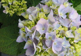 Photo of a hydrangea - Click to enlarge