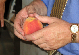 Photo of Secretary Kuperus holding Gloria peach variety - Click to enlarge