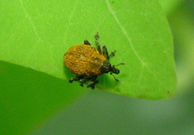 Photo of mile a minute weevil - Click to enlarge