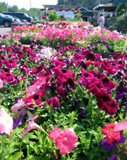 Photo of annual bedding plants