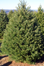 Photo of a Jersey Grown Christmas Tree