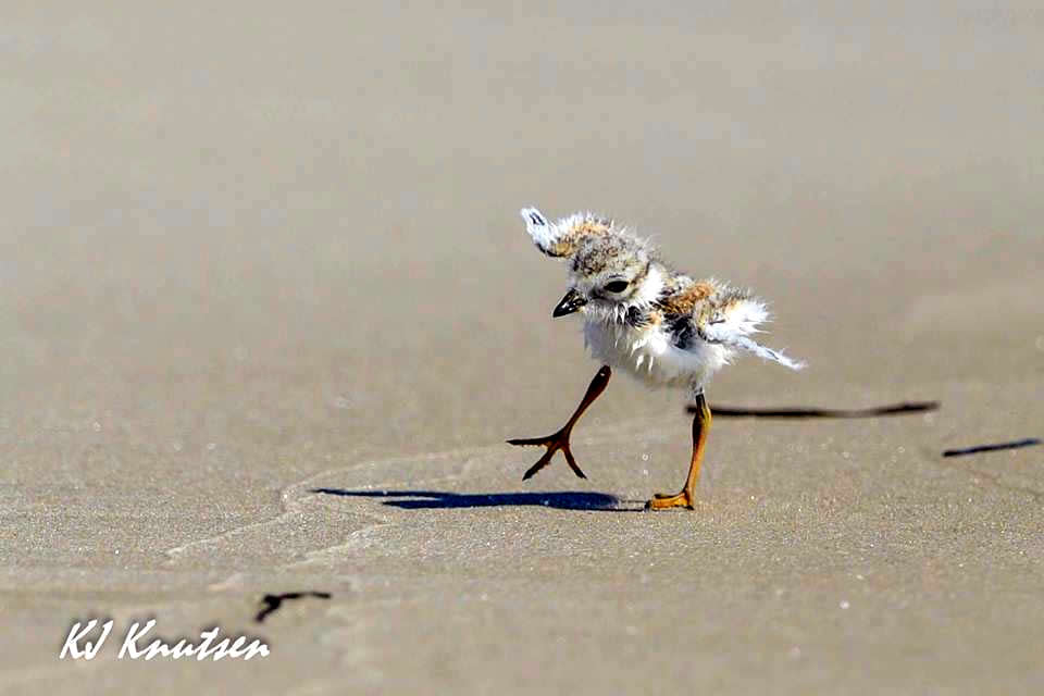 Njdep division of fish wildlife piping plovers fledge for Ibsp fishing report