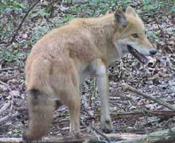 Njdep Division Of Fish Amp Wildlife Coyotes In New Jersey