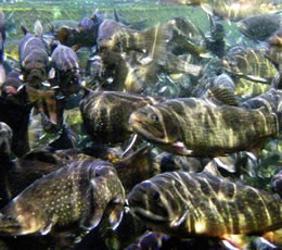 Njdep division of fish wildlife 2009 spring trout for Mass fish stocking