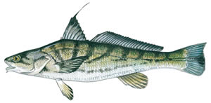 Northern Kingfish