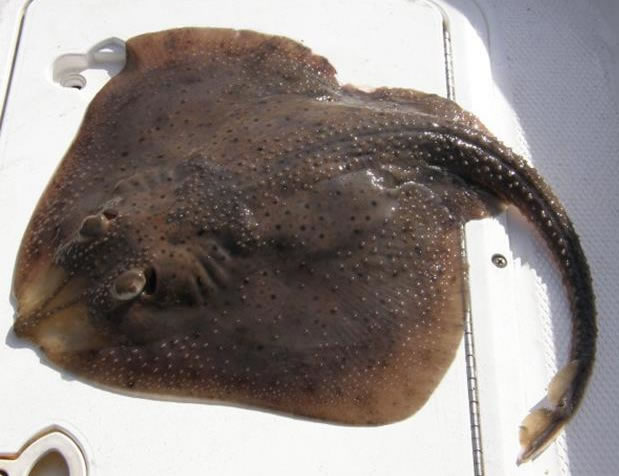 Njdep division of fish wildlife skates and stingrays for Is a stingray a fish