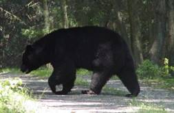 Bear on Trail (cropped)