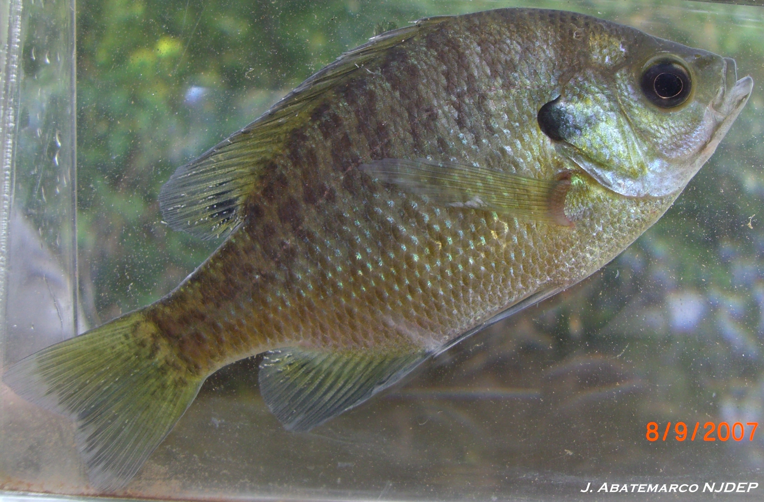 how to fish with crickets for bluegill
