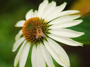 A honeybee on a coneflower