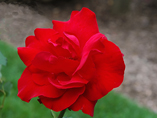 A beautiful flower from the rose garden