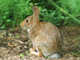 A rabbit sits on one of the woodland trails
