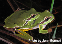 Pine Barrens Treefrogs in amplexus