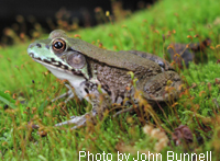 Green Frog adult