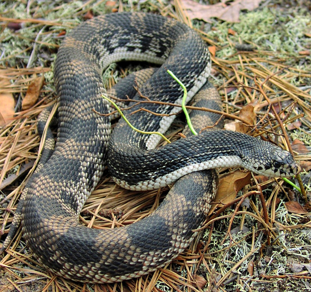 Snake: New Jersey Pinelands Commission