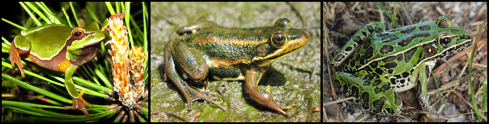 Pine Barrens treefrog, Carpenter frog, and Southern leopard frog