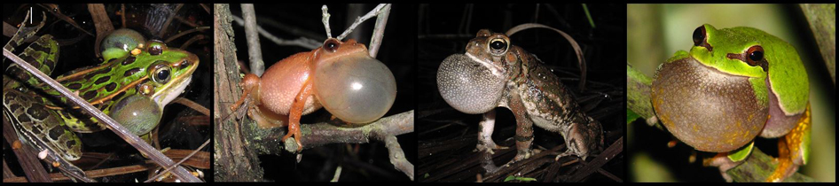 Southern leopard frog, Spring Peeper, Fowler's toad , and Pine Barrens treefrog