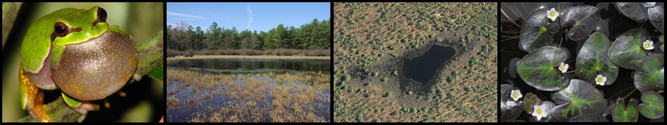 Pine Barrens treefrog, ground level view of a pond, aerial view of a pond, and Floating heart blooming